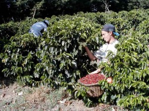 Workers pick coffee