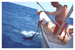 Billfish getting ready to be released