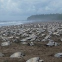Another mass arrival of turtles at Ostional beach